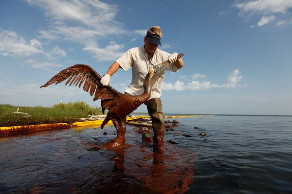 gulf-oil-spill-killing-wildlife-cleaning-pelican_21353_600x450